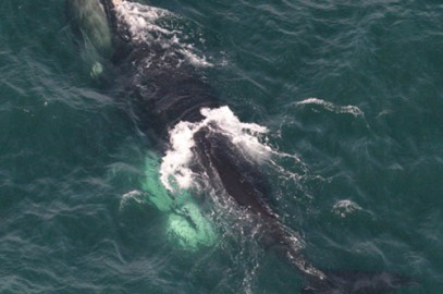 North Atlantic Right Whales Winter Migration Dangers