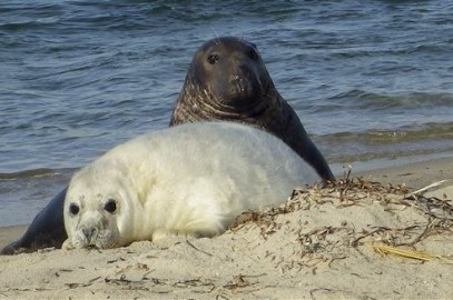 Gray Seal Sightings – New England