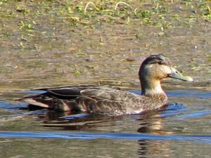 black duck hen