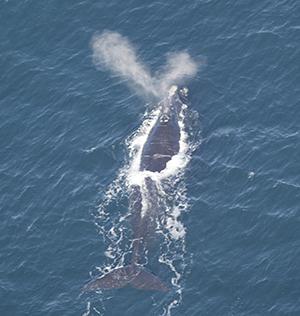 North Atlantic right whale