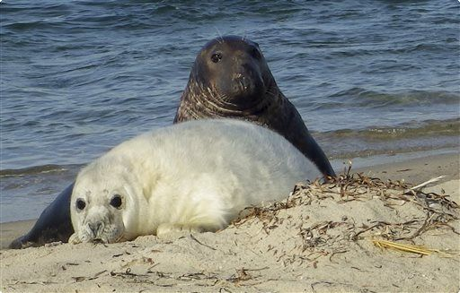 gray seal and pup